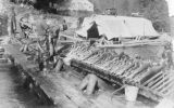 Egg harvesting at fish hatchery, Kalama, Washington, circa 1905-1920