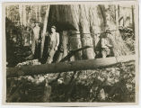 Falling large cedar, Whatcom County, Washington, circa 1930s