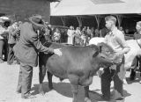 Jaycee stock show steer judging, Ritzville, Washington, April 30, 1945