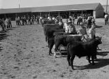 Jr. Chamber of Commerce stock show, Ritzville, Washington, April 26, 1947