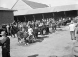 Jaycee cattle judging, Ritzville, Washington, April 15, 1946